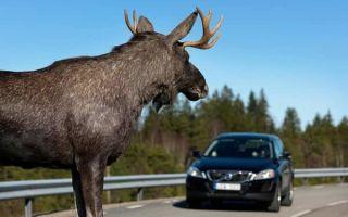 Что делать, если произошло столкновение на дороге с диким животным?