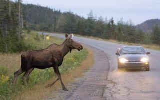 Дикие животные на дороге: удачные примеры решения проблемы